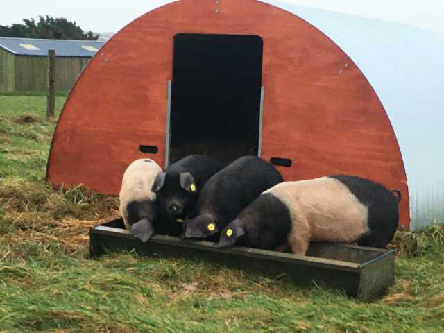 Four little Pigs at the Farm