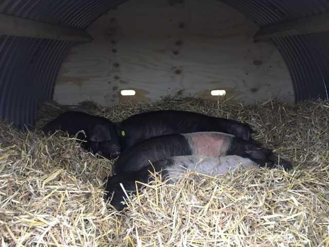 Pigs asleep in house